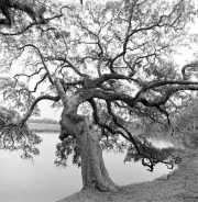 Tree Series #17